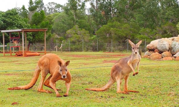 Kangaroos und Koalas in Queensland